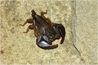 Black Scorpion, Umbria, Italy, 3 May 2004