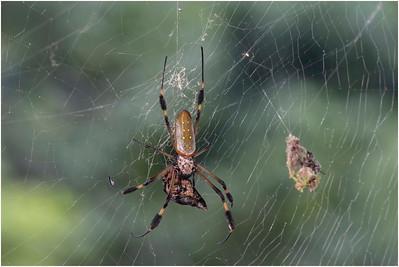 Golden Orb Spider, Braulio Carrillo NP, Costa Rica, 28 March 2019