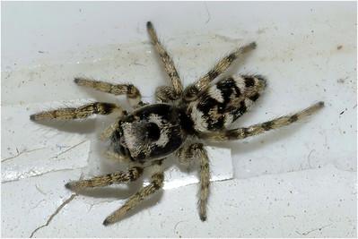 Jumping Spider species, Colby, Norfolk, United Kingdom, 21 November 2004