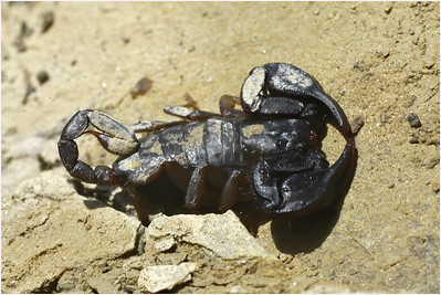 Black Scorpion, Umbria, Italy, 10 May 2004