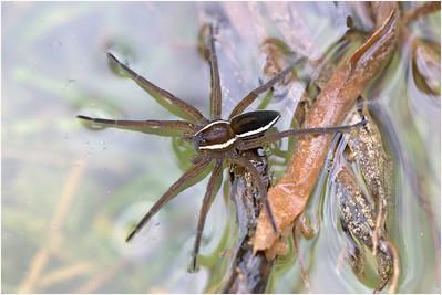 Raft Spider, Redgrave Fen, Suffolk, United Kingdom, 12 July 2009