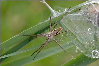 Pisaura mirabilis Spider, Upton, Norfolk, United Kingdom, 20 June 2009