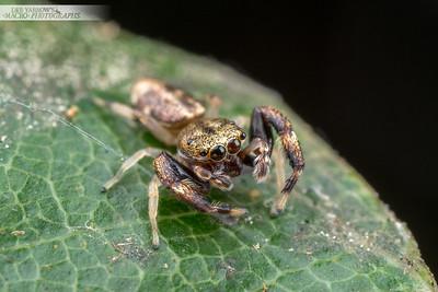 Unknown Salticidae