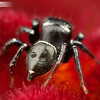 Ant-eating Jumping Spider