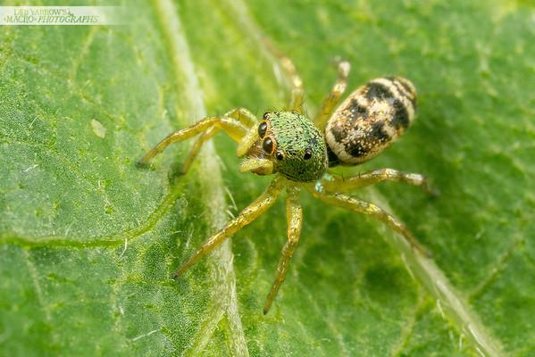 Metallic Green Jumping Spider