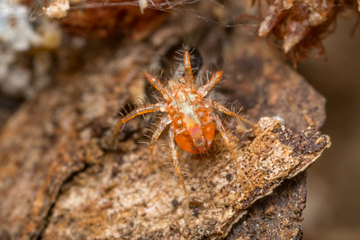 Red Hairy Mite