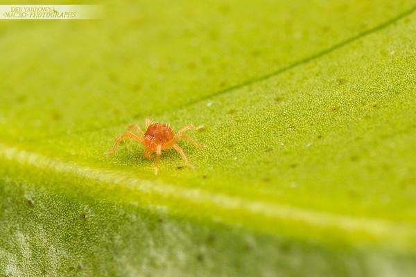 Red Spider Mite