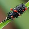 Unknown sp. infesting Hispellinus multispinosis (Chrysomelidae)