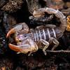 Urodacus manicatus - Black Rock Scorpion