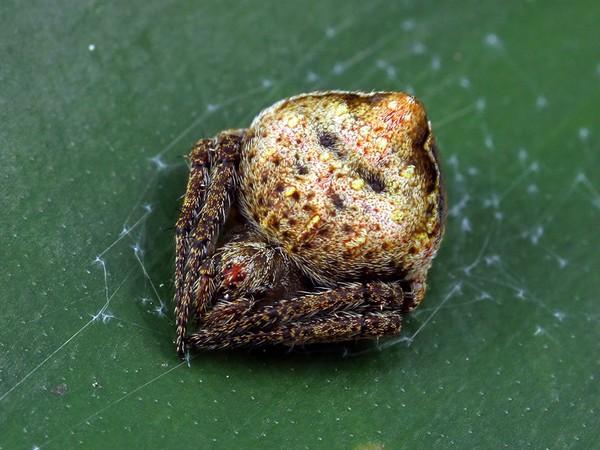 Araneus acuminatus