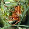 Araneus aff. acuminatus