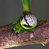 Araneus praesignis