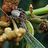 Araneus sp. (possibly A. dimidiatus)