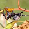 Araneus albidus