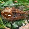 Eriophora sp.