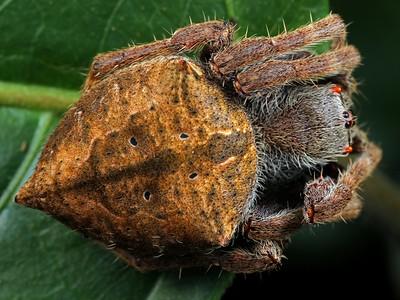 genus Parawixia