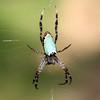 Plebs bradleyi - Enamel Spider
