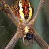 Argiope keyserlingi - St. Andrews Cross Spider