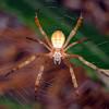 Argiope keyserlingi - St. Andrews Cross Spider (juvenile)
