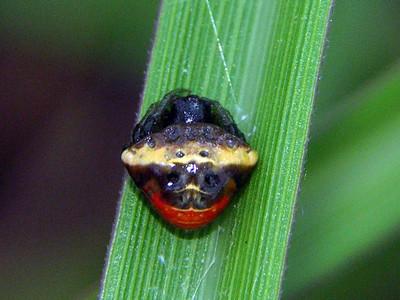 genus Cyrtarachne