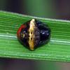 Cyrtarachne tricolor