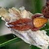 Cyrtophora exanthematica