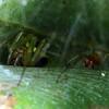 Deliochus sp. (female and male)