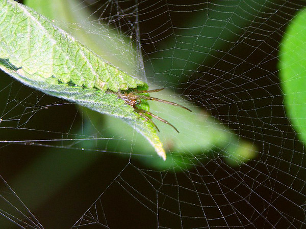 Phonognatha graeffei - Leaf-curling Spider