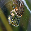 possible Argiope sp.