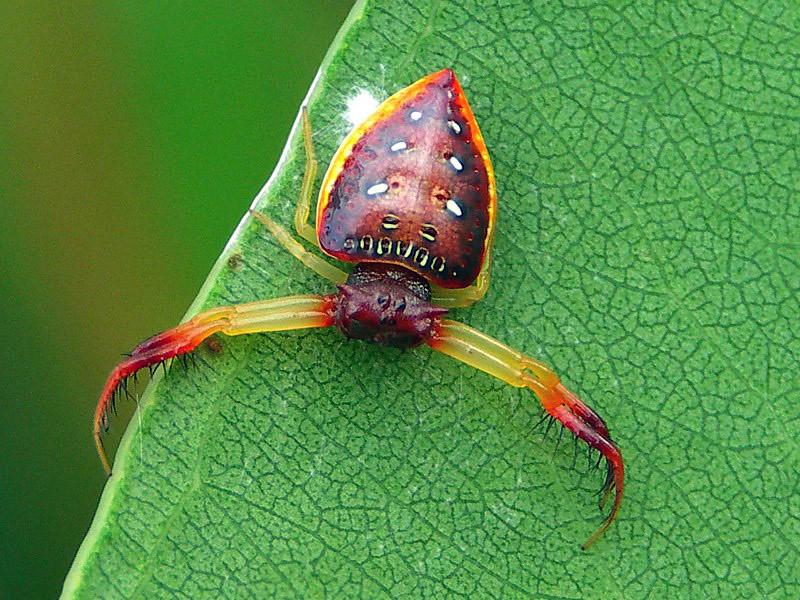 https://photos.smugmug.com/Arachnids/Spiders-order-Araneae/Family-Arkyidae/Genus-Arkys/i-HJQzmJJ/0/528f311b/L/Arkys%20cornutus%20-%20Worba130406%20%281%29-L.jpg