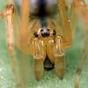 Cheiracanthium sp. (female)