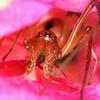 Cheiracanthium sp. (male)