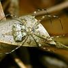 Tamopsis sp.