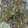 Tamopsis brisbanensis