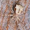 Tamopsis sp. (female)