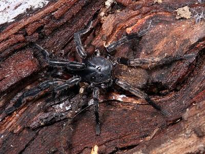 family Idiopidae - True Trapdoor Spiders