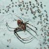 Australomimetus sp.