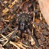 Stanwellia grisea - Melbourne Trapdoor Spider