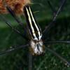 Nephila Pilipes - Northern Golden Orb-weaver
