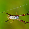 Nephila edulis