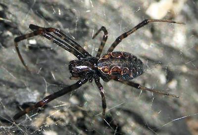 genus Nephilengys