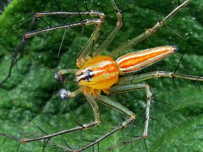 family Oxyopidae - Lynx Spiders