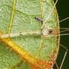 Micromerys gracilis
