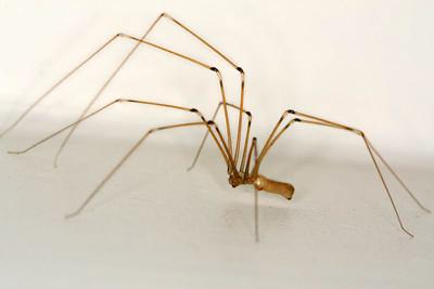 family Pholcidae - Daddy-longleg Spiders