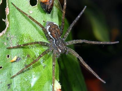 family Pisauridae - Fishing Spiders