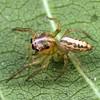 Canama sp. (possibly C. kochi)