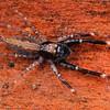 Unknown sp. (possibly near Bavia genus)
