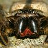 Holconia immanis - Giant Huntsman