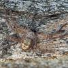 Holconia immanis - Giant Huntsman (juvenile)