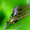 Heteropoda cervina